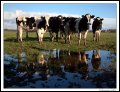 Image 25/57 : l_reflectivecows.jpg